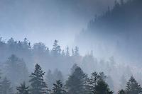 Spruces in misty light, National Park Piatra Craiului, Transylvania, Southern Carpathians, Romania