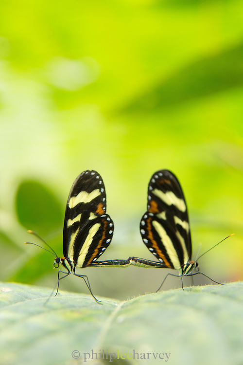 Mating Heliconius Butterfly Species (Captive) Mashpi Reserve, Ecuador, South America