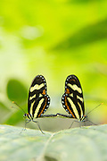Mating Heliconius Butterfly Species (Captive) Mashpi Reserve, Ecuador, South America