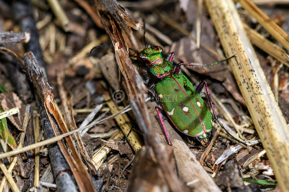 Green tiger beetle (Cicindela campestris) from Hidra, south-western norway in May.