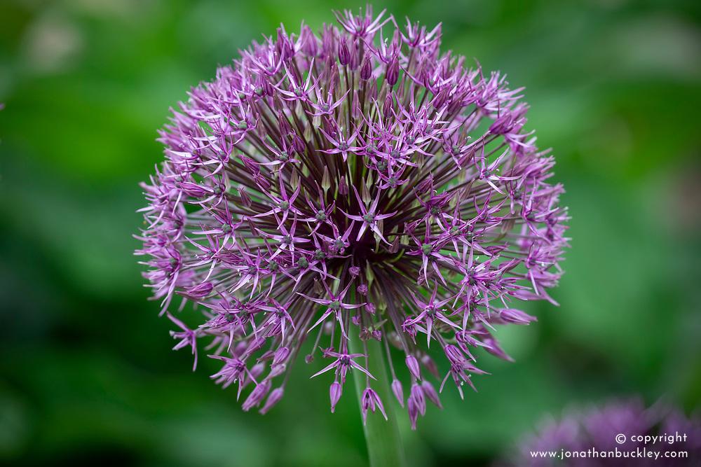 Allium 'Universe' AGM