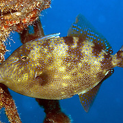 Gray Triggerfish inhabit reefs and areas of sand, rubble and seagrass in Tropical West Atlantic; picture taken Utila, Honduras.