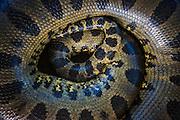 Anaconda<br /> (Eunectes murinus)<br /> Georgetown zoo<br /> GUYANA<br /> South America<br /> captive
