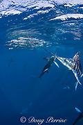 striped marlin, Kajikia audax (formerly Tetrapturus audax ), feeding on baitball of sardines, off Baja California, Mexico ( Eastern Pacific Ocean )