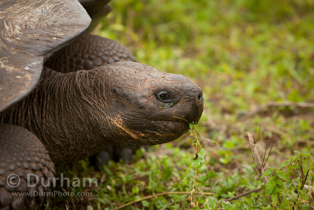 A giant galapagos tortoise (Geochelone elephantopus) with a dome-shaped carapace . Santa Cruz Highlands, Santa Cruz Island, Galapagos Archipelago - Ecuador.