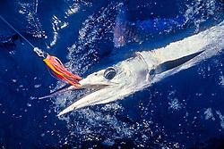 short-billed spearfish, Tetrapterus angustirostris, hooked with Hawaiian jet head trolling lure, offshore, Kona Coast, Big Island, Hawaii, USA, Pacific Ocean