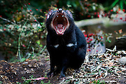 """Captive Tasmanian Devils  at Tasmanian Devil Conservation Park, near Taranna, Tasmania, Australia demonstrating its powerful jaws. This is a """"fear yawn"""" showing fear or nervousness, or just showing off its teeth in a """"don't mess with me"""" way. This one wasn't making sound - just gaping! The jaw is four times more powerful than a dog the same size (Jack Russell) and a Tasmanian Devil could easily eat every bone in the human body! ....Most of the devils I photographed over the last week were either recovering from injuries, or orphans, seperated from parents suffering from the Tasmanian Devil Facial Tumor Disease, which is a contagious cancer. Many of these orphans or recovered will be released into the wild."""