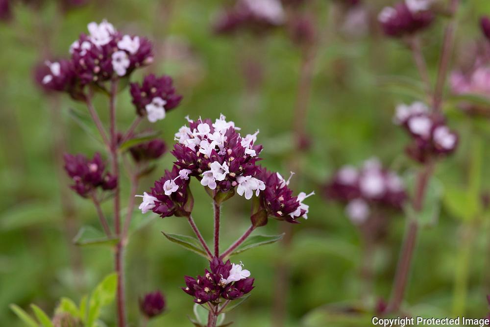 Wild marjoram flower, Origanum vulgare, Lullingstone Country Park, Kent UK, the same aromatic herb as oregano