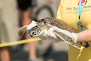A Sea Turtle Rescue volunteer carries a rehabilitated green sea turtle back to the Atlantic Ocean during a release June 30, 2016 in Isle of Palms, South Carolina. The turtle was rehabilitated at the South Carolina Aquarium sea turtle hospital in Charleston.