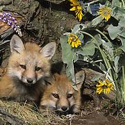 Red Fox (Vulpes vulpes) kits at the entrance of a den in Montana. Captive Animal