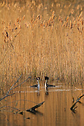 A pair of great crested grebes during the first part of their courtship ritual, shown in context in the late evening light.
