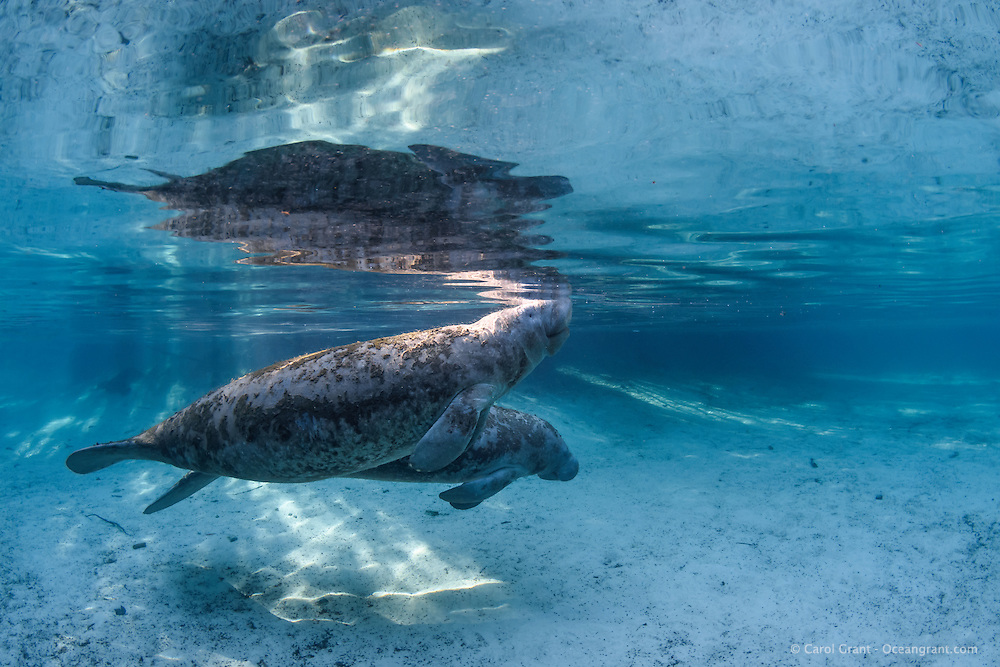 """Manatee mother and calf swim next to each other in the gorgeous spring blue freshwaters of  Three Sisters Springs. This manatee calf is nearly as big as mom. Calves stay with their mothers for two years and grow substantially in that time. Crystal River National Wildlife Refuge, Kings Bay, Crystal River, Citrus County, Florida USA. Florida manatee, Trichechus manatus latirostris, a subspecies of the West Indian manatee, IUCN Endangered but proposed downlisting to Threatened by USFWS for 2017: http://www.iucnredlist.org/details/22106/0. Nikon d7200 1/80 f8 Tokina 10-17 at 15mm ISO 400 Subal Underwater Housing, Subal 8"""" dome port, natural light. Post-processing is normal listed actions."""