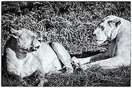 06-11-2017 Foto's genomen tijdens een persreis naar Buffalo City, een gemeente binnen de Zuid-Afrikaanse provincie Oost-Kaap. Inkwenkwezie Private Game Reserve - Witte en normale leeuwin