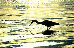 Silhouette of a Great White Heron (Ardea herodias occidentalis)