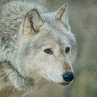 This majestic wolf is part of a wildlife collection.