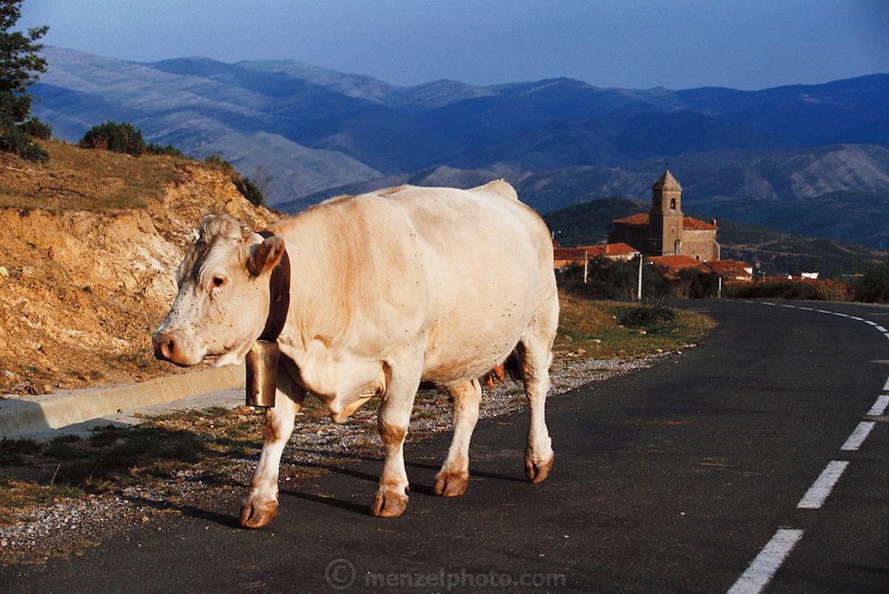 A cow in the road near the town of Muro en Cameros.  Rioja, Spain.