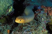 olive sea snake, Aipysurus laevis, Lighthouse Bommie, Ribbon Reefs, Great Barrier Reef, Australia