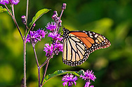 A Monarch Butterfly on pink flowers, Danaus plexippus