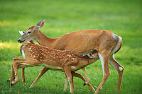 Milking Time Twin Fawns and Doe.  Summer Backyard Nature in New Jersey. Image taken with a Nikon D3s and 400 mm f/2.8G II lens (ISO 500, 400 mm, f/2.8, 1/400 sec).