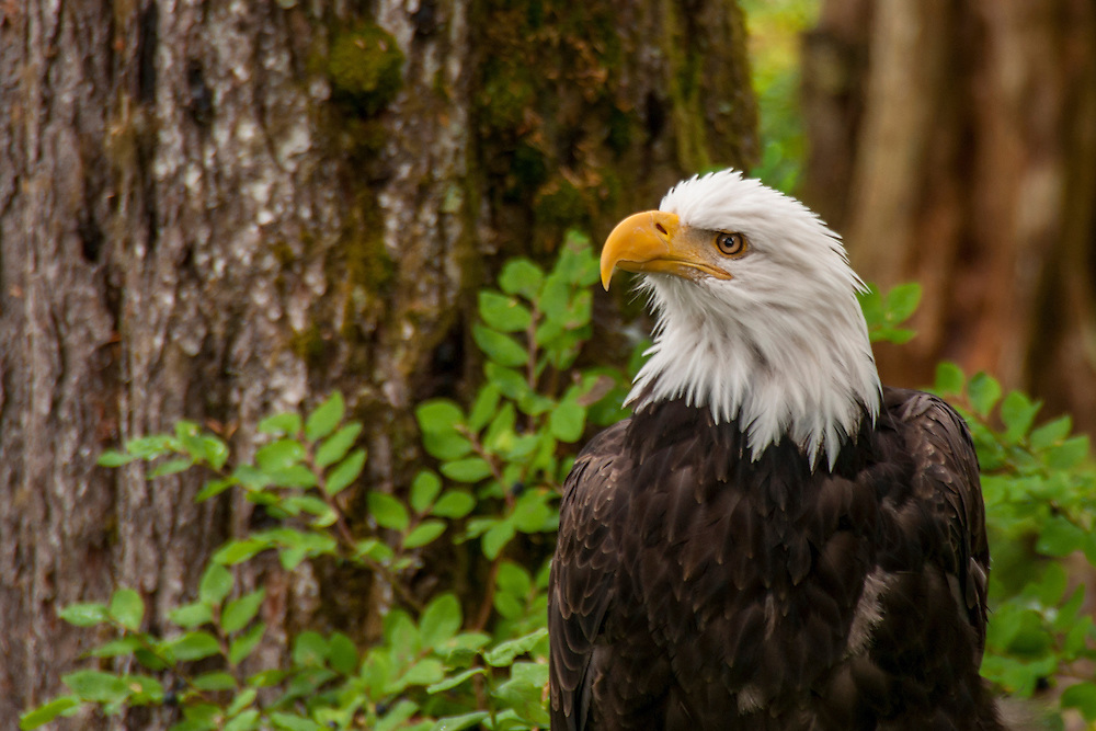 The bald eagle is the national animal and bird of the United States of America.  It is on seal of the United States.  The bald eagle was on the United States endangered species list from 1995 to 2007.