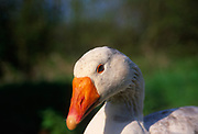 ADD2WC White Embden English goose head close up