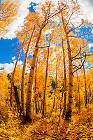 An aspen grove in autumn, 13,114 foot (3997 meter) Imogene Pass, San Juan Mountains, southwest Colorado USA.