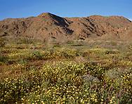 CADJT_104 - USA, California, Joshua Tree National Park, Spring bloom of desert dandelion, chia and Arizona lupine beneath the Cottonwood Mountains.