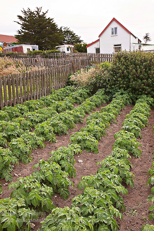 A Victory Garden established in the backyard of a Stanley residence in the Falkland Islands