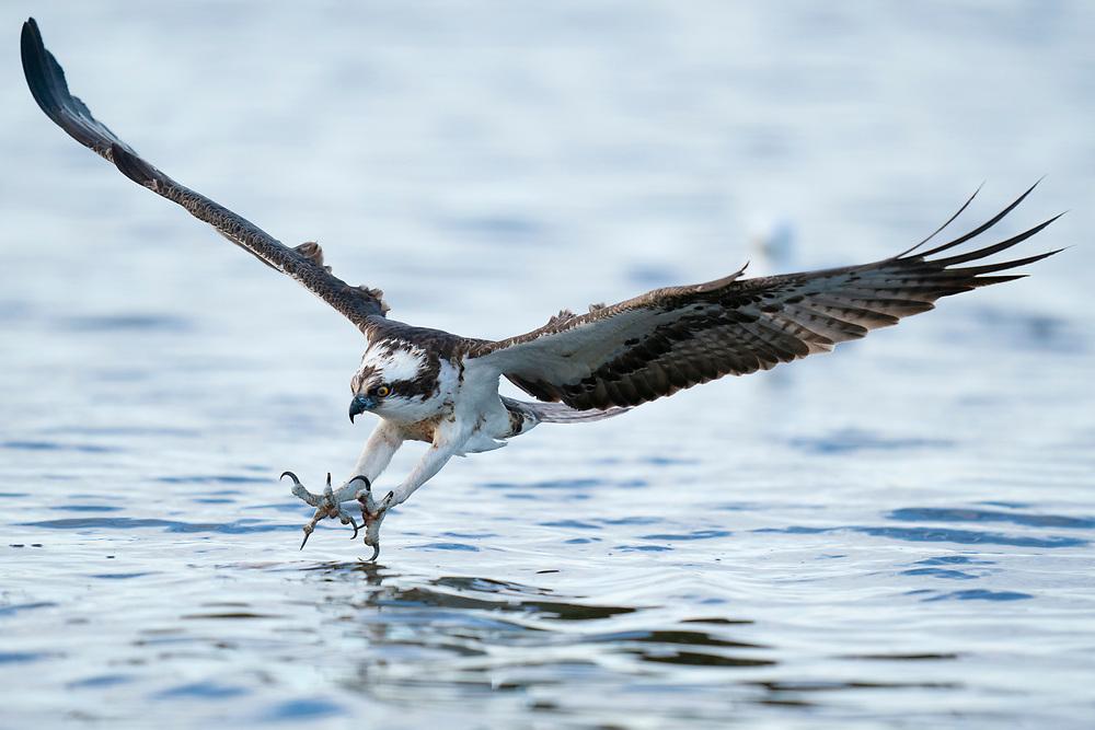 Osprey, Pandion haliaetus, Eskilstuna, Lake Malaren, Sweden