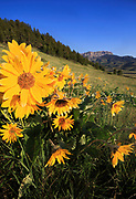 Arrowleaved Balsamroot on the Rocky Mountain Front, Montana.