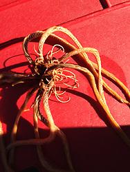 Feather Duster Sea Star, SV Maple Leaf, Gulf Islands, British Columbia, Canada