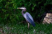 The Local Great Blue Heron
