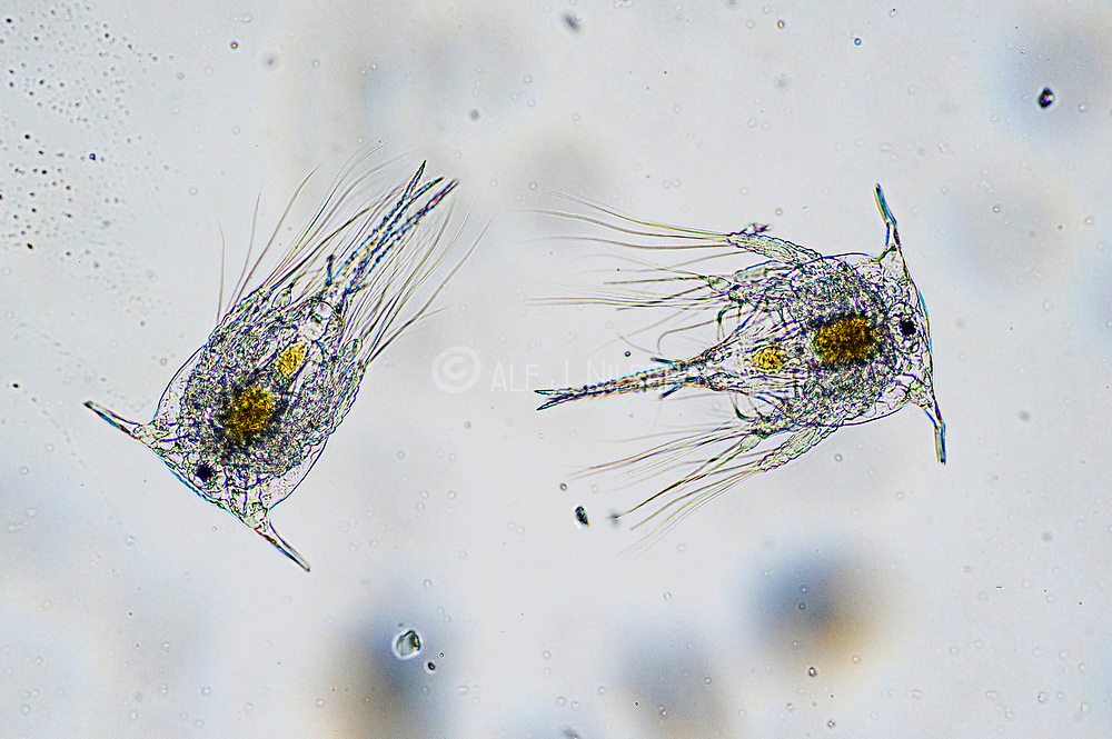 Pelagic larvae of barnacle (Balanus sp., probably B. crenatus), collected from coastal surface water og south-western Norway.
