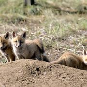 Red Fox, (Vulpus fulva) Sibling kits. Spring. Montana.
