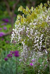 Wisteria floribunda 'Kuchi-beni'