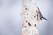 Eurasian Nuthatch, Sitta europea, Vitbergets nature reserve, Kalvtrask, Vasterbotten, Sweden
