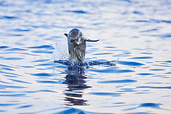 Pantropical Spotted Dolphin juvenile, Stenella attenuata, jumping out of boat wake, off Kona Coast, Big Island, Hawaii, Pacific Ocean