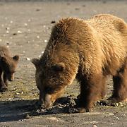 Alaskan Brown Bear, (Ursus middendorffi) Mother and young bear clamming. Coastal Alaska. Katmai National Park.