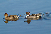 Male and female Northern Pintail Ducks swimming (Anas acuta) Back Bay Reserve, California