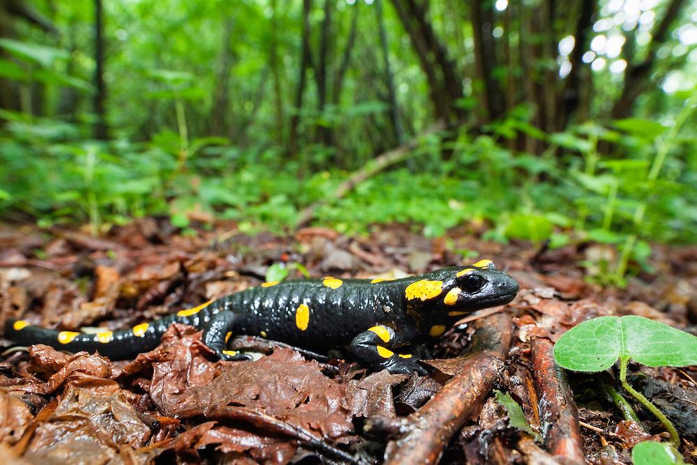 Fire Salamander, Salamandra salamandra, Poloniny National park, Western Carpathians, Slovakia, Europe, Feuersalamander, Salamandra salamandra, Poloniny Nationalpark, West Karpaten, Slowakei, Europa