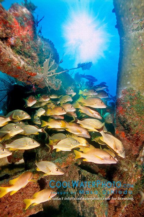 game fish, school of bluestriped grunts, Haemulon sciurus, and schoolmasters, Lutjanus apodus, Benwood, Key Largo, Florida Keys NMS, Florida, Atlantic Ocean