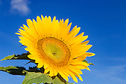 Flowering sunflower in morning sun near Ryeford, Queensland, Australia <br /> <br /> Editions:- Open Edition Print / Stock Image