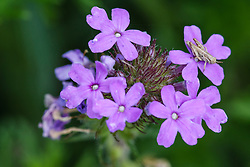 Dakota vervain wildflowers and grasshopper, Texas Hill Country (between Blanco and Fredericksburg), Texas, USA..