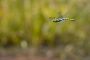 Emperor dragonfly in flight. Dorset, UK.
