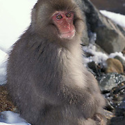 Snow Monkey or Japanese Red-faced Macaque, (Macaca fuscata) Sunning self. Japan.