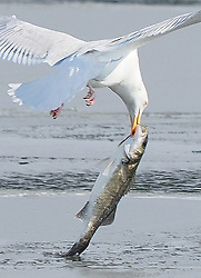 © Licensed to London News Pictures. 28/02/2018. Sheerness, UK. A gull pulls a very large fish out of a partly frozen canal at Barton's Point Coastal Park in Sheerness, Kent on a freezing winter day. Gulls, which are normally seabirds, have unhinging jaws which allow them to consume large prey. But even by gull standards, this fish is very large. Photo credit: James Bell/LNP