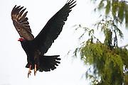 Turkey Vulture in flight, Pacific Northwest, Washington.