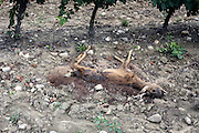 dead decomposing deer in a vineyard