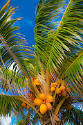 Coconut palm blowing in the tropical breeze.