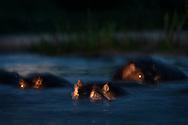 Nilpferde (Hippopotamus amphibius) während der Abenddämmerung in einer geblitzten Langzeitbelichtung, Greater Kruger Area, Südafrika<br /> <br /> Hippopotamus (Hippopotamus amphibius) during dusk in a flashed long exposure, Greater Kruger Area, South Africa